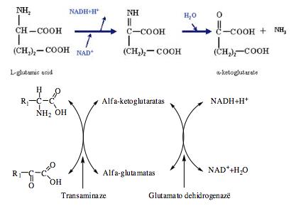 širdies sveikatos aminorūgštys)